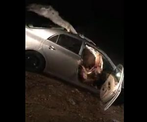 ラクダと車が激突