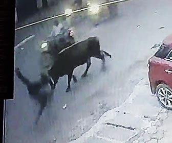 牛に襲われる男性