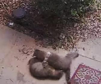 飼い猫にアライグマが襲いかかる