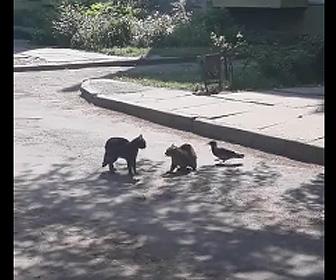猫の戦いを止めるカラス