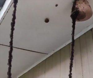軍隊アリが蜂の巣を襲う