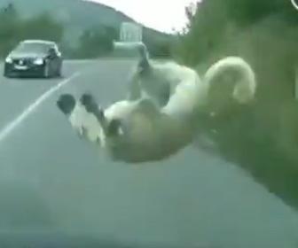 犬が車にはね飛ばされてしまう