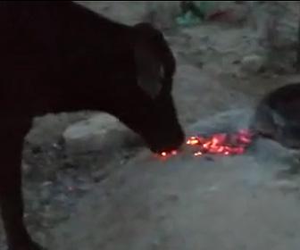 牛が燃えてる炭を食べる