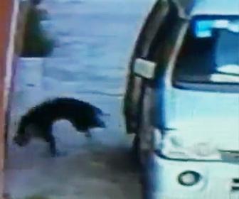 中国の犬泥棒