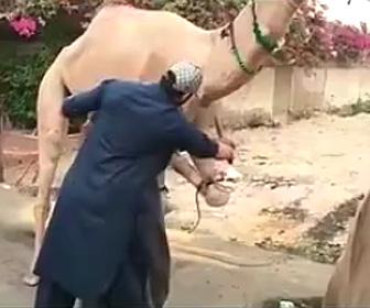 ラクダの反撃