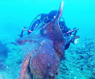 水中カメラマンにタコが襲いかかる