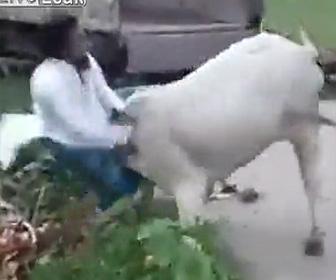 牛が大暴れする