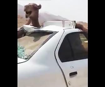 ラクダと車が事故