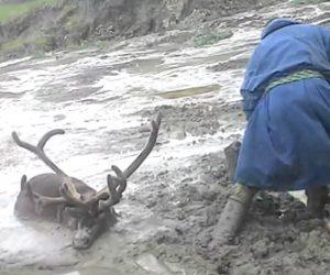 泥沼から鹿を助け出す