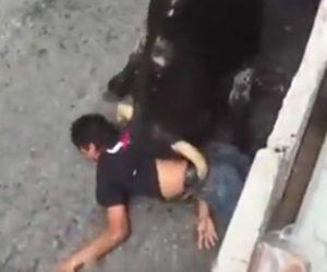 暴れ牛に襲われる男性