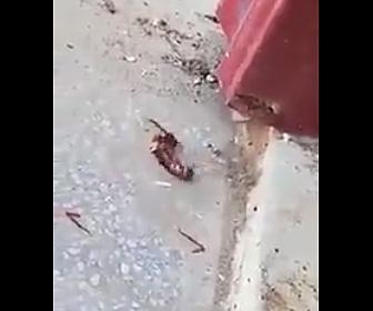 スズメバチがゴキブリと戦うが…