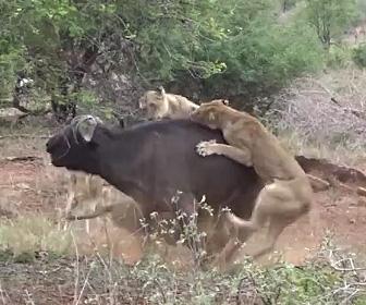 バッファローにライオンが襲いかかる
