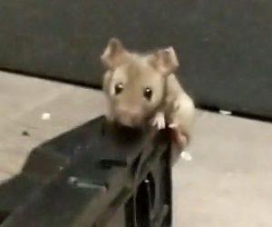 ネズミに襲いかかる飼い犬