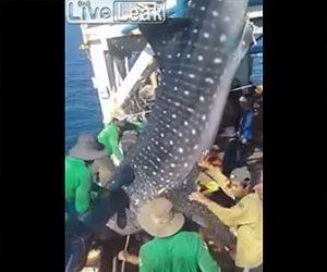 網にかかったジンベイザメを海に戻す