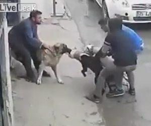 大型犬カンガルー・ドッグがピットブルに襲いかかる衝撃映像