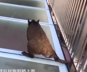 【動画】野豚がガラスの橋を渡ろうとするが怖すぎて震えてしまう