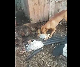 【動画】キツネVS犬2匹 キツネが必死に抵抗するが…