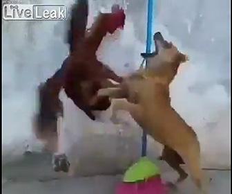 【動画】犬VSニワトリ ニワトリに犬が襲いかかるが…