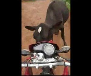【動画】ウィリー走行で走るバイクが突然飛び出てきた牛に激突してしまう