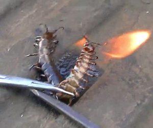 【動画】巨大ムカデを捕まえ火を付けて焼き殺す男