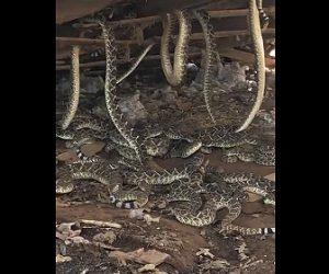 【動画】古い小屋の下から大量の蛇が出てくる衝撃映像
