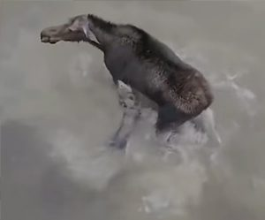 【動画】ヘラジカVS狼 湖に逃げ込んだヘラジカに狼が襲いかかる