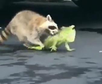 【動画】アライグマがイグアナに襲いかかる衝撃映像