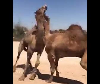 【動画】2頭のラクダが激しい喧嘩。首で押さえつけ噛み付く