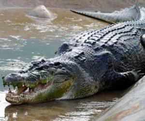 【閲覧注意動画】5mの巨大ワニがいる池に女性が落ちてしまい恐ろしい事に…