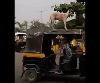 【動画】犬を上に乗せて走るオートリキシャ