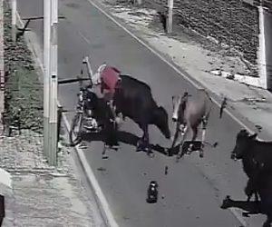 【動画】猛スピードのバイクが車道を歩く牛に突っ込んでしまう衝撃事故