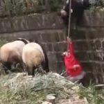 【動画】パンダの檻に落下してしまった少女にパンダが近づいて来る衝撃映像