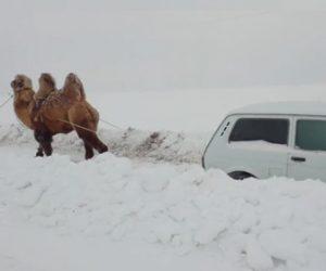 【動画】雪にはまり動けない車をひっぱるラクダのパワーが凄い