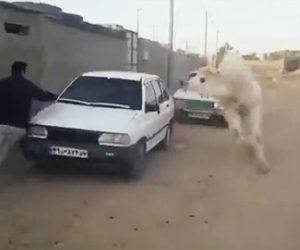 【動画】ラクダから必死に逃げる男性
