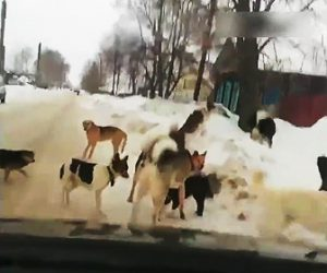 【動画】道にいる野犬達に車が突っ込んで行く衝撃映像