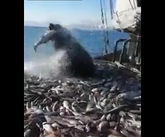 【動画】漁船に乗ってきたオットセイが魚を食べまくり漁師が追い払おうとするが…