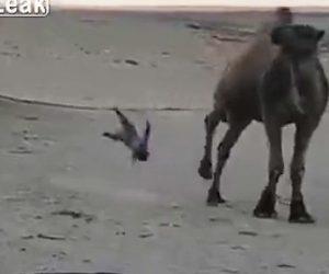 【動画】ラクダに近づいた幼児が蹴り飛ばされてしまう衝撃映像