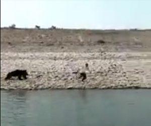 【動画】貯水池に熊が現れ、熊を捕えようとするがクマが男性に襲いかかる衝撃映像