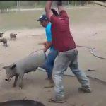 【動画】豚を棒で殴り殺そうとするが豚が逃げ回り恐ろしい事になってしまう