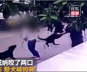 【動画】2匹のロットワイラーがカップルが散歩する小型犬を攻撃しカップルが必死に守るが…