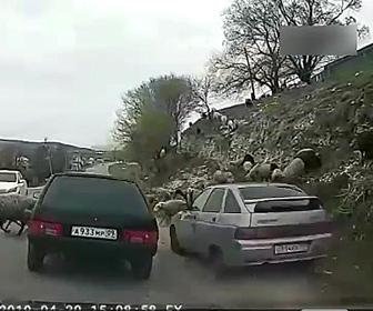 【動画】道を渡る羊の群れに猛スピードの車が突っ込んで行く衝撃映像