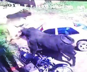 【動画】牛2頭が突然戦いはじめ駐車している車に激突してしまう衝撃映像
