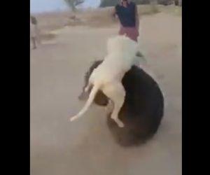 【動画】熊VS犬 2頭の激しい戦いが凄い!