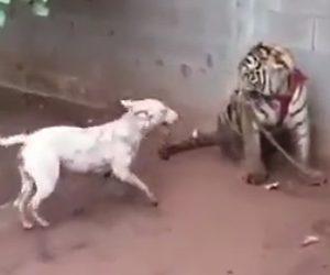 【動画】トラVSピットブル 最強の犬ピットブルがトラに襲いかかる衝撃映像