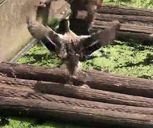【動画】カモの親子がマントヒヒに襲われ必死に親ガモが抵抗するが…