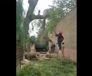 【動画】庭師が脚立に乗り巨大な木を切るが…