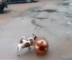 【動画】破裂寸前のペットボトルを犬が追いかけ回すがペットボトルが爆発してしまい犬が…