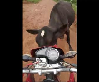 【動画】ウイリー走行するバイクに牛が突っ込んで来る衝撃映像