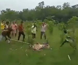 【動画】インドの村にトラが村人が必死に棒で殴りかかる衝撃映像