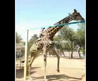 【動画】動物園で酔っぱらった男が柵を乗り越えキリンに飛び乗ってしまうが…